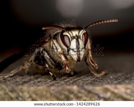 bald faced hornet, Dolichovespula maculata, portrait, on wood