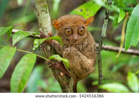 The Philippine Tarsier, one of the smallest primates, in its natural habitat in Bohol, Philippines. #1424556386