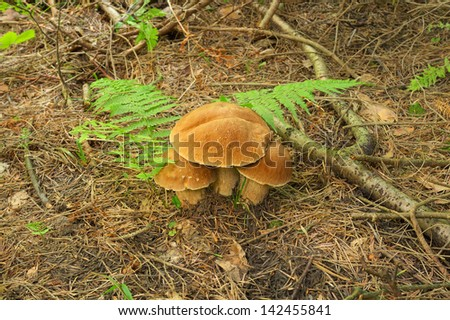 Mushroom in the forest boletus  #142455841