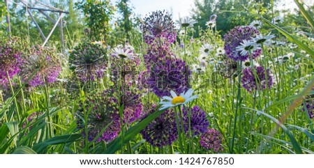 Summer feeling: Wide angle shot of  beautiful violet tiny and white blossoms, giant purple allium flower field with white daisies; Palatinate in Germany. #1424767850
