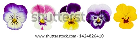 Set of pansies isolated on white background. Top view.