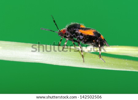 Macro picture of a insect hemiptera with green background