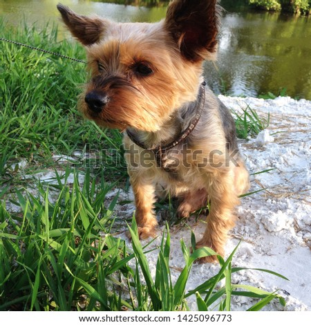 Macro photo animal dog yorkshire terrier. Texture background puppy dog Yorkshire terrier sitting on the beach. Image of a fluffy puppy pet Yorkshire terrier on the background of the river lake