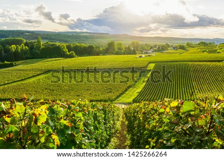 Row vine grape in champagne vineyards at montagne de reims countryside village background, Reims, France Royalty-Free Stock Photo #1425266264