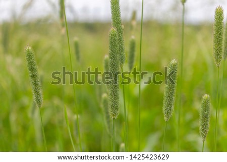 Meadow grass. Field grass. Hay time. Spacious pastures. Green vegetation. Summer fields. Green spikelets. Food for livestock. Harvesting hay. Juicy grass. Steppe expanses. #1425423629