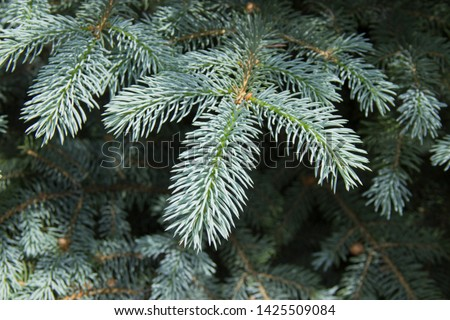 The branches of the blue spruce close-up. Blue spruce or prickly spruce (Picea pungens) - representative of the genus Spruce from the Pine family. #1425509084