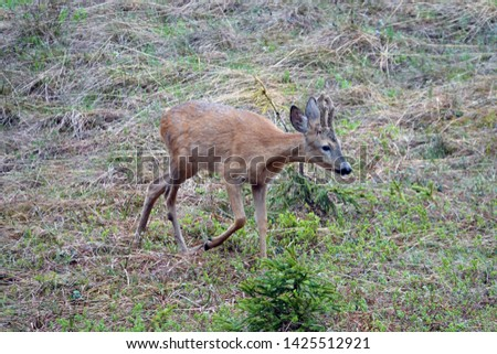 a young roebuck in change of coat and with velvet on his horns #1425512921