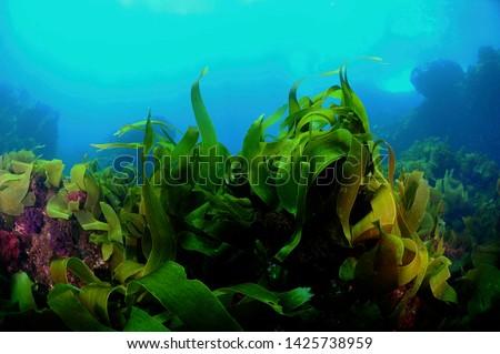 under water kelp forest photo
