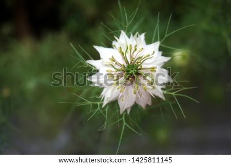 Beautiful white nigella sativa flower in the garden #1425811145