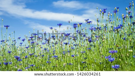 Summer landscape with bright blooming cornflowers in the field. Cornflowers flowers against the sky. #1426034261