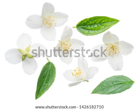 Blooming jasmine flower with jasmine leaves isolated on white background. Clipping path. #1426182710