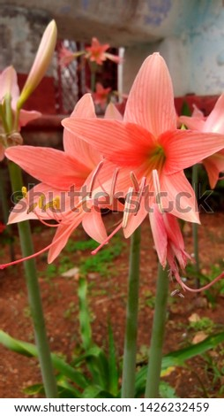An image of pink easter lily an unedited raw image with a high resolution. And its free to use at any commercial means. #1426232459