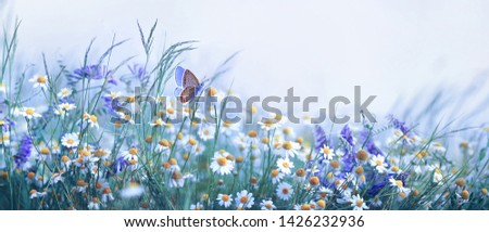 Beautiful wild flowers chamomile, purple wild peas, butterfly in morning haze in nature close-up macro. Landscape wide format, copy space, cool blue tones. Delightful pastoral airy artistic image. #1426232936