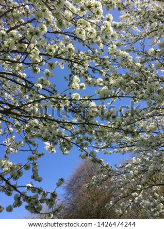 Blossom tree from underneath with blue sky white pale pink #1426474244
