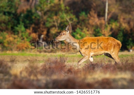 Female Red Deer doe or hind Cervus elaphus in a meadow with purple heather in front of a forest on a sunny day.  #1426551776