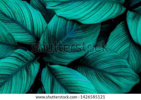 Spathiphyllum cannifolium, tropical leaves, abstract green leaves texture, nature background #1426585121