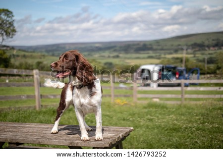 Springer Spaniel  standing on a table at campsite with camper van in background.  #1426793252