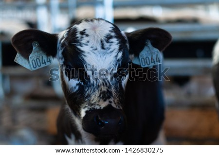 cows and goats in the farm, Norwegian farm #1426830275