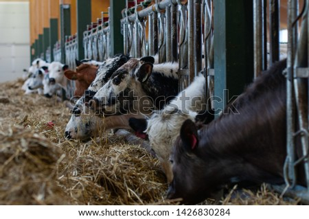 cows and goats in the farm, Norwegian farm #1426830284