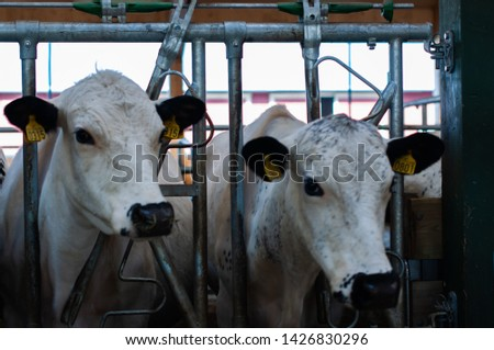 cows and goats in the farm, Norwegian farm #1426830296