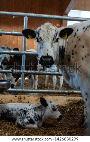 cows and goats in the farm, Norwegian farm #1426830299