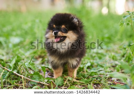 The cute spitz puppy of dark color, sticking out his tongue, sits on the grass and looks to the side #1426834442