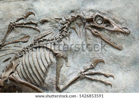 closeup of a replica of fossilized scary petrified Velociraptor dinosaur fossil remains in stone with details of the skeleton with skull and white bones #1426853591