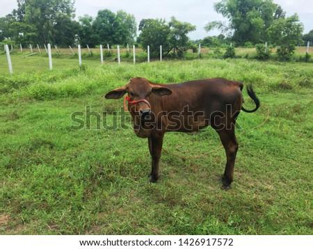 Cow calf farm scene. Pasture cow calf scene. Cow calf portrait. Cow calf grazing #1426917572