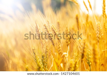 Mature golden wheat in the wheat field #1427104601