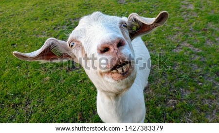 Photo of weird looking goat