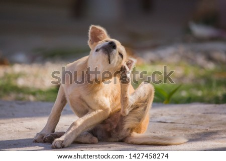 brown dog scratching itself, self hygiene in wildlife of an abandoned bummer  #1427458274