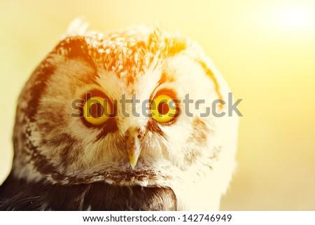 The boreal owl at sunrise.