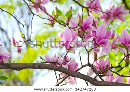 Pink magnolia in the park #142747288