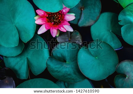 closeup beautiful lotus flower and green leaf in pond, purity nature background, red lotus water lily blooming on water surface and dark blue leaves toned #1427610590