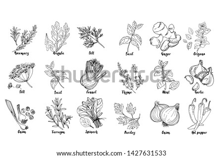 Herbs. Spices. Italian herb drawn black lines on a white background. Vector illustration. Basil, ginger, origano, Thame, mint, garlic, parsley, onion, hot pepper, rosemary, arugula, dill, basil #1427631533