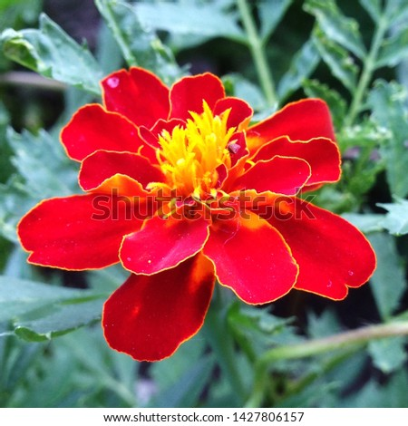 Macro photo of the nature of the flower Tagetes patula Texture background plant fiery red Tagetes flower. Image plant orange Tagetes Marigolds  patula flower #1427806157
