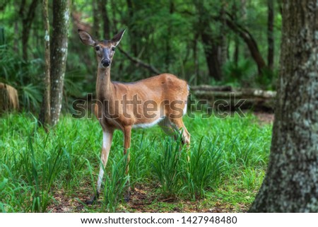 Florida White Tailed Deer Odocoileus virginianus #1427948480