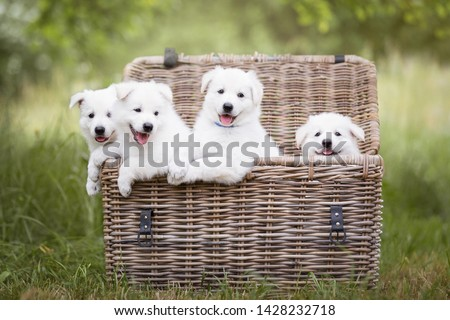 Cute white puppies in a basket. Berger Blanc Suisse puppies in a basket. White shepherd puppies. Basket full of puppies. Cute dogs. #1428232718