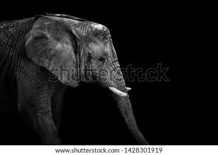 Mochrome portrait elephant. Face elephant. Animal on black. Black and white poster. African elephant.