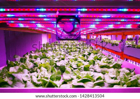Ventilator and special LED lights belts above lettuce in aquaponics system combining fish aquaculture with hydroponics, cultivating plants in water under artificial lighting, indoors #1428413504