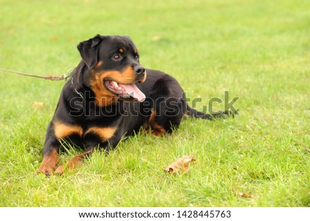 A Rottweiler at dog sport  #1428445763