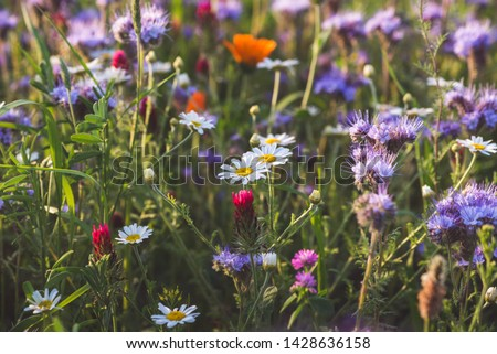 Colorful flowering herb meadow with purple blooming phacelia, orange calendula officinalis and wild chamomile. Meadow flowers photographed landscape format suitable as wall decoration in wellness area #1428636158