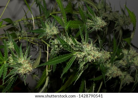 Indoor marijuana under the spotlights. Very green buds at the end of flowering. #1428790541