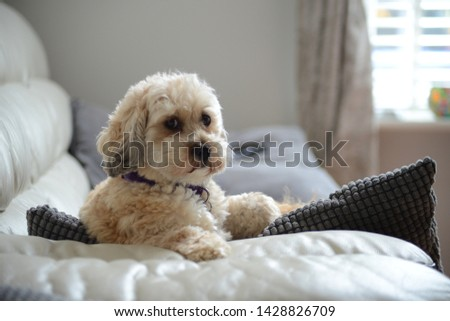 Cute puppy poodle dog picture
