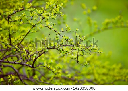 Spring. Nature in bloom. Fresh green foliage on a bush and lime grass on a meadow. Macro photography. Bright and colorful photo of nature. #1428830300