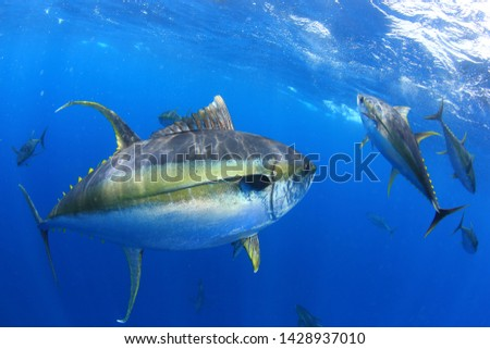 Yellowfin tuna out in the open ocean in crystal clear blue water #1428937010