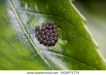 a close-up picture of a leaf containing a cluster of  eggs belonging to Podisus maculiventris