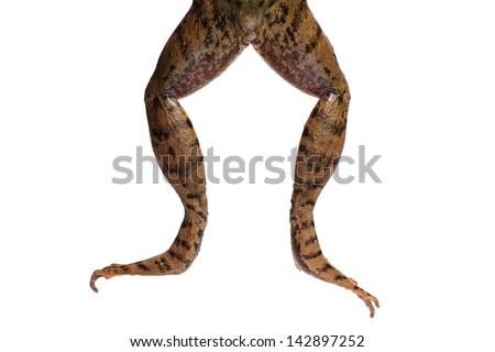 Green frog legs (Rana clamitans) #142897252
