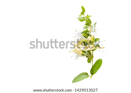 Lonicera japonica, known as Japanese honeysuckle and golden-and-silver honeysuckle isolated on a white background.space for your text #1429013027