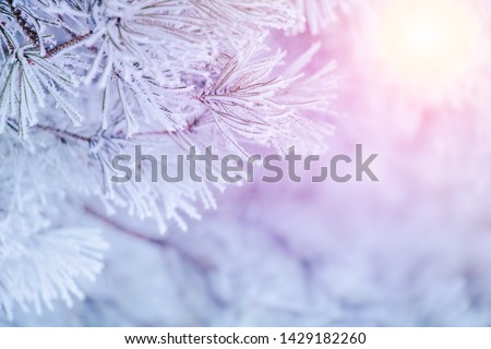 Wonderful scenic winter christmas template. Beautiful Winter spruce tree branches covered frost. Artistic Nature Winter background with snowy christmas tree With Copy Space. Winter magic forest.